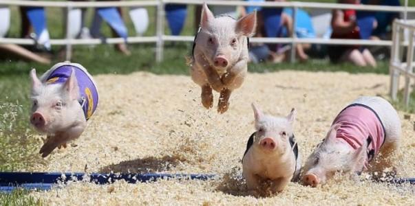 pig-racing